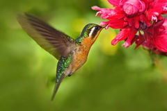 Flying hummingbird. Orange and green small bird from mountain cloud forest in Costa Rica. Purple-throated Mountain-gem with red fl. Ower royalty free stock photos