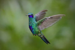 Flying hummingbird Sparkling Violetear with green forest background Royalty Free Stock Photos