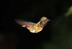 Flying Hummingbird Royalty Free Stock Images