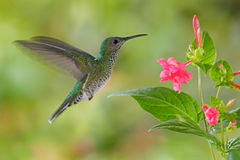 Flying hummingbird White-necked Jacobin Royalty Free Stock Images