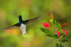 Flying hummingbird White-necked Jacobin next to pink red flower. Hummingbird Florisuga mellivora, from Rancho Naturalista in Costa Stock Photos