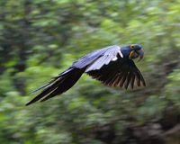 A flying Hyacinth macaw in woods Royalty Free Stock Photos