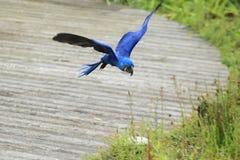 Flying hyacinthine macaw Royalty Free Stock Image