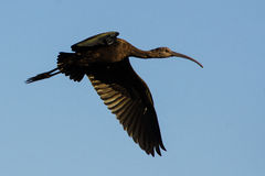 Flying Ibis Downwing Stock Images
