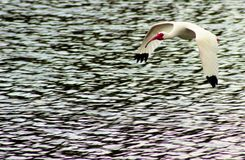 Flying ibis. White Ibis flying over blue lake stirred waters Stock Photos
