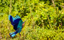 Flying Indian Roller Stock Photo