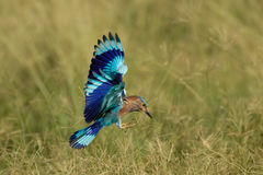 Flying Indian Roller in Fujairah National Dairy Farm in UAE Stock Images