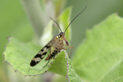 Scorpionfly female Royalty Free Stock Images