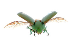 Flying insect beetle isolated Royalty Free Stock Photography