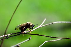 Flying insect on branch macro royalty free stock photography