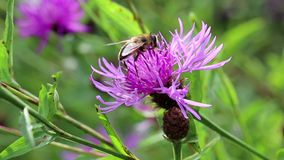 Flying insect on purple flower stock video footage