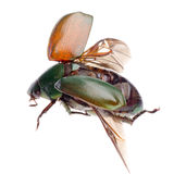 Flying insect scarab beetle Stock Images
