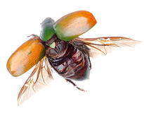 Flying insect scarab beetle royalty free stock photos