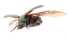 Flying insect scarab beetle stock photo