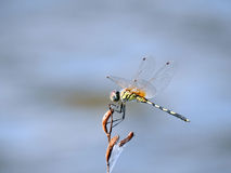 Flying Insect Royalty Free Stock Photos