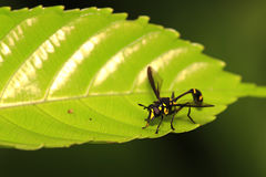 Flying insect on leaf 4. Flying insect waiting on leaf Stock Images