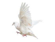 Flying isolated light pigeon Stock Images