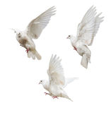 Flying isolated three light pigeons Stock Photo