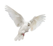 Flying isolated white color dove. Photo of flying dove isolated on white background Stock Images