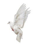 Flying isolated white pigeon Royalty Free Stock Image