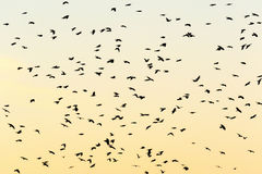 Flying Jackdaws in silhouettes Stock Photo