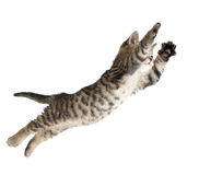 Flying or jumping kitten cat isolated. On white Stock Photo