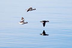 Flying just above the water. Royalty Free Stock Photos
