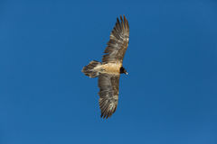 Flying juvenile bearded vulture Gypaetus barbatus with blue sk Royalty Free Stock Photography