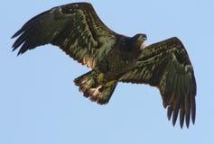 Flying Juvenile Eagle Stock Photography