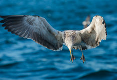 Flying Juvenile Kelp gull Royalty Free Stock Photo