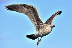 Kelp gull Larus dominicanus in flight stock photography