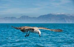Flying Juvenile Kelp gull Stock Image