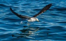 Flying Juvenile Kelp gull Stock Photography