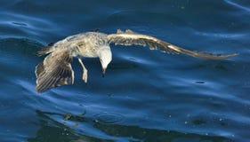 Flying Juvenile Kelp gull Royalty Free Stock Photography