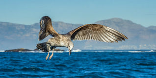 Flying Juvenile  Kelp gull Larus dominicanus, also known as the Dominican gull and Black Backed Kelp Gull. Blue sky background. Stock Photos