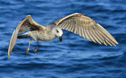 Flying  Juvenile Kelp gull Larus dominicanus, also known as the Dominican gull and Black Backed Kelp Gull. Blue water of the oce Stock Photo