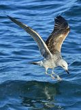 Flying Juvenile Kelp gull Larus dominicanus, also known as the Dominican gull and Black Backed Kelp Gull. Natural blue water bac Stock Image
