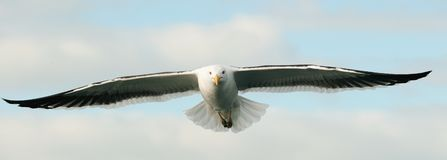 Flying kelp gull. Front view Stock Photo