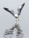 Flying kelp gull landing in Argentina, South America Stock Photos