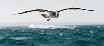 Free Flying Kelp Gull (Larus Dominicanus) Royalty Free Stock Photos - 45956988