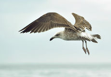 Flying kelp gull (Larus dominicanus) Stock Photos