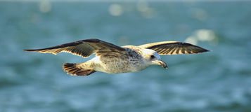 Flying kelp gull (Larus dominicanus) Royalty Free Stock Image