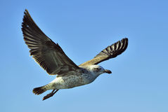 Flying kelp gull (Larus dominicanus) Stock Images