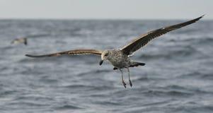 Flying kelp gull (Larus dominicanus) Royalty Free Stock Photo