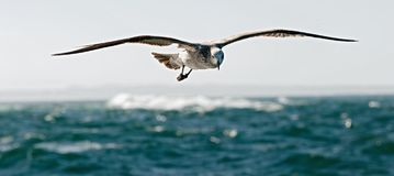 Flying kelp gull (Larus dominicanus) Royalty Free Stock Photos