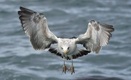Flying kelp gull (Larus dominicanus) Stock Photography