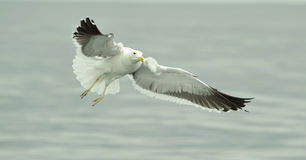 Flying kelp gull (Larus dominicanus), Royalty Free Stock Photo