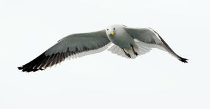 Flying kelp gull (Larus dominicanus) Royalty Free Stock Photography