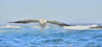 Flying Kelp gull (Larus dominicanus), also known as the Dominica Royalty Free Stock Photography