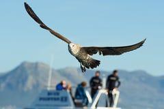 Flying kelp gulls (Larus dominicanus) Stock Photo